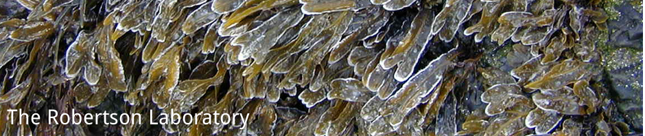 Fucus covered in ice