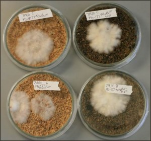Fungal cultures on sawdust with (right) and without (left) Bunker C oil.