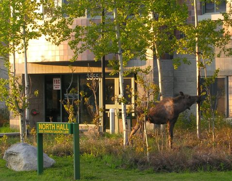 I get one foot out the door of the main unit and this is what I see! A moose outside North Hall.