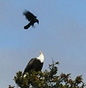 Eagles aren't exactly adored by their avian fellows. (Anchor River. Sorry about the blur from the digital zoom.)
