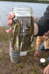 A jar of stickleback preserved in formalin