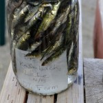 Quart jar of preserved fish from Kalmbach Lake, AK