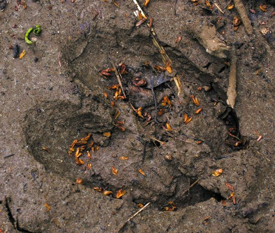 A perfect moose print in the mud.