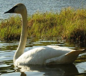 One of the two beautiful swans at Beverly Lake.