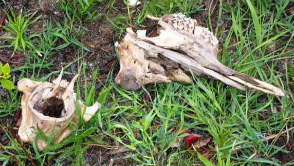 A moose skull seen on the trail leading into Whale Lake.