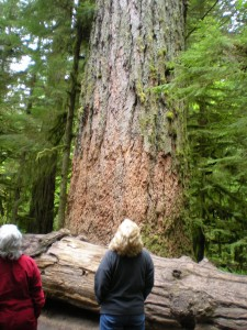 The trees are quite big. This one was over 500 ft tall.