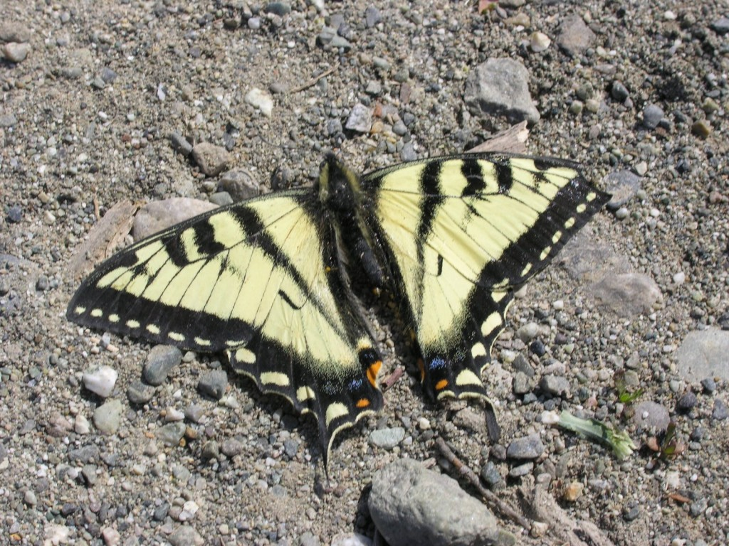 Butterfly on the gravel next to Noffer.