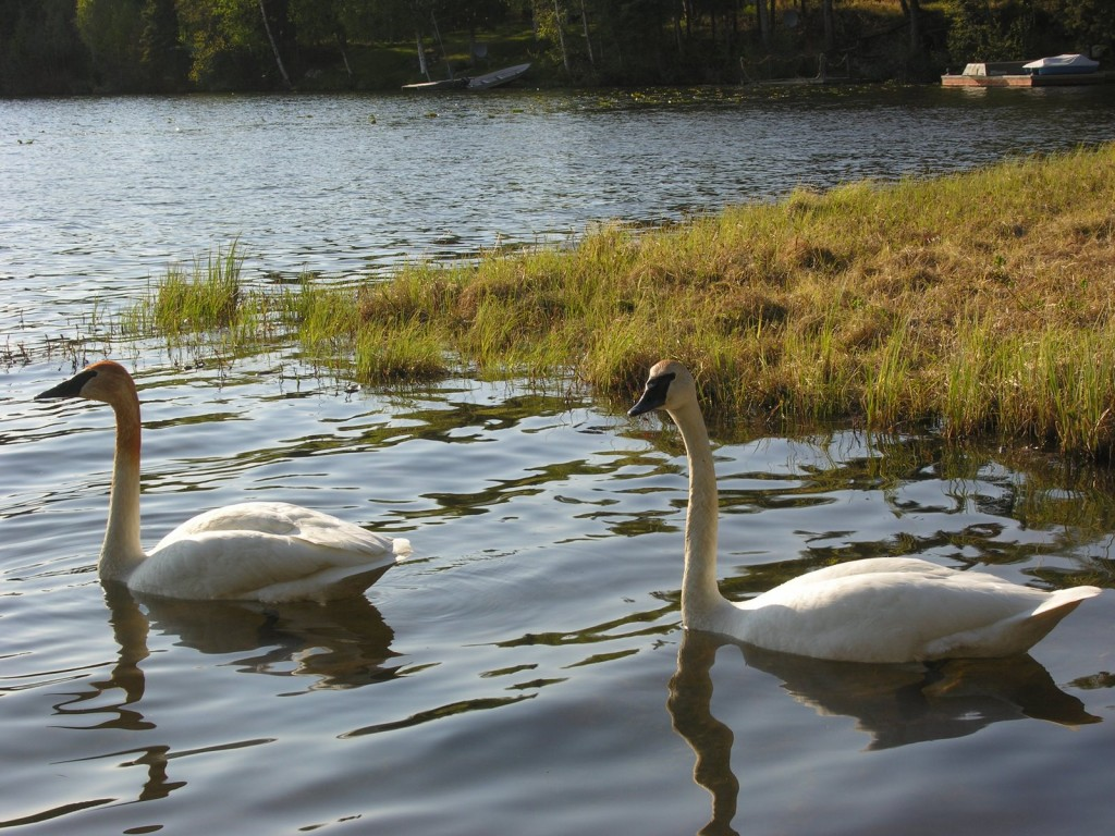 Swans at Beverly Lake, 2008. One example of the waterfowl we often see at collection lakes.
