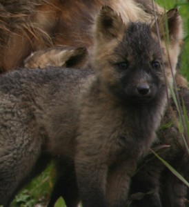 It also helps when we see adorable fox cubs and their mother gamboling around on the side of the road just waiting for us to take thier picture.