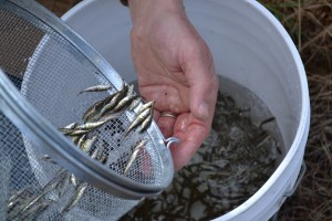 Counting the fish we've caught and choosing some to preserve