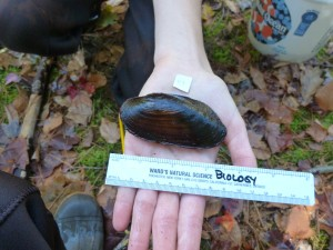 Freshwater pearl mussel collected for tissue sampling.